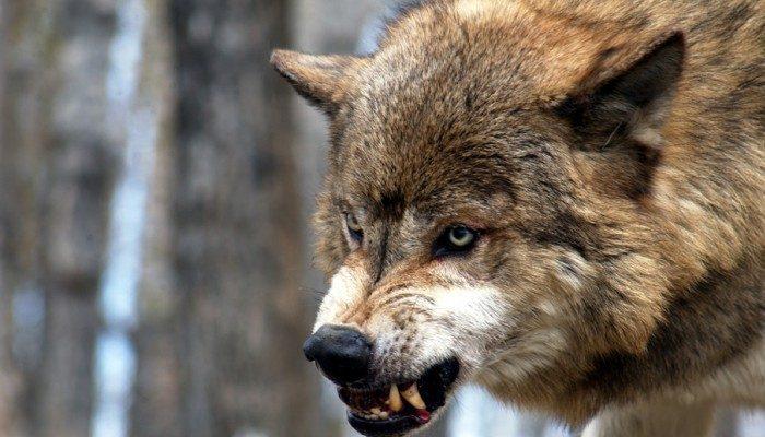 Крымский волк