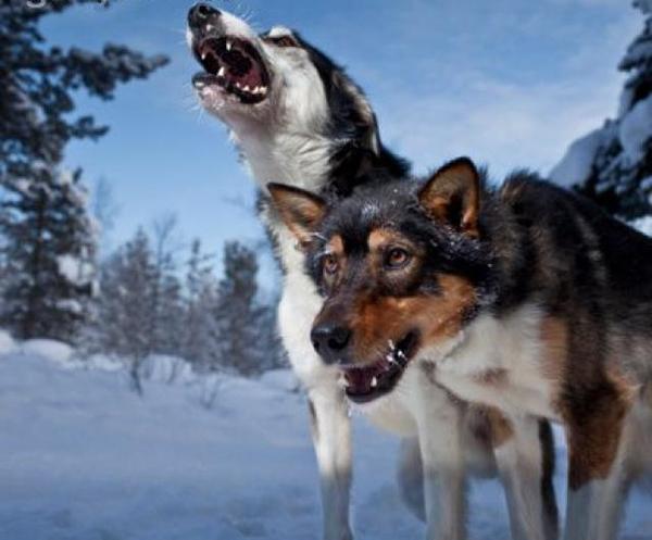 Одичавшие собаки в горах Крыма