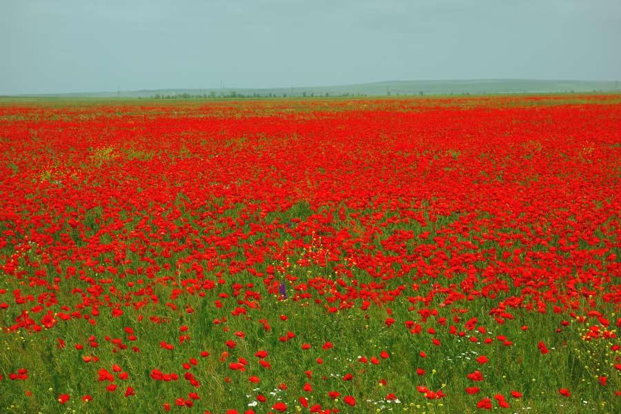 Красота маковых полей
