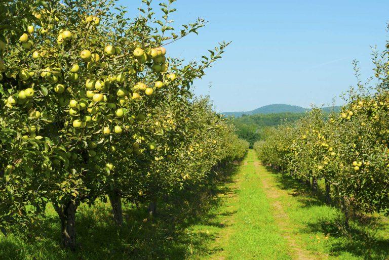 Яблоневые сады Альминской долины