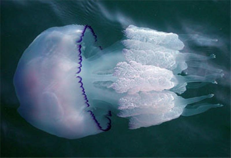 Опасные животные Черного моря. Медуза-корнерот