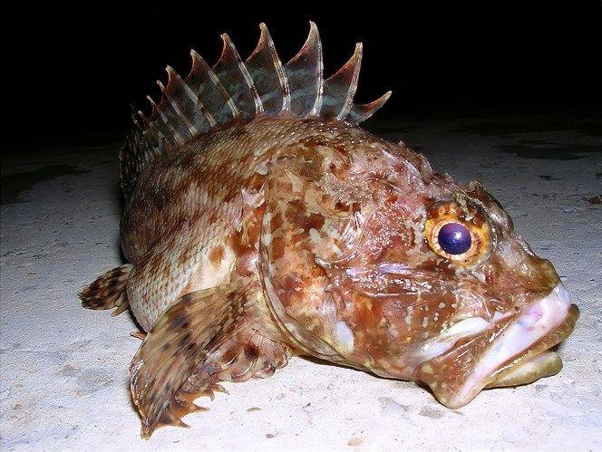 Черноморская скорпена или морской ёрш