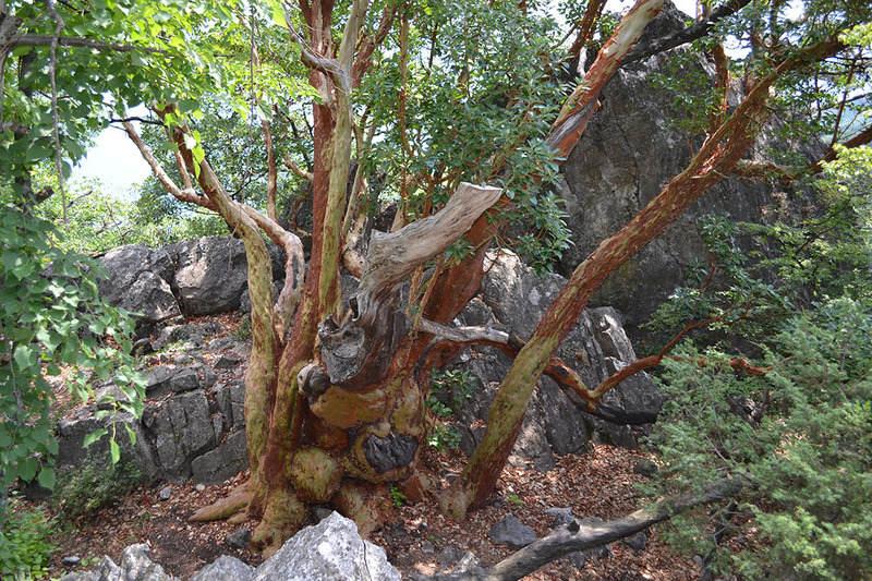 Древнее дерево земляничника
