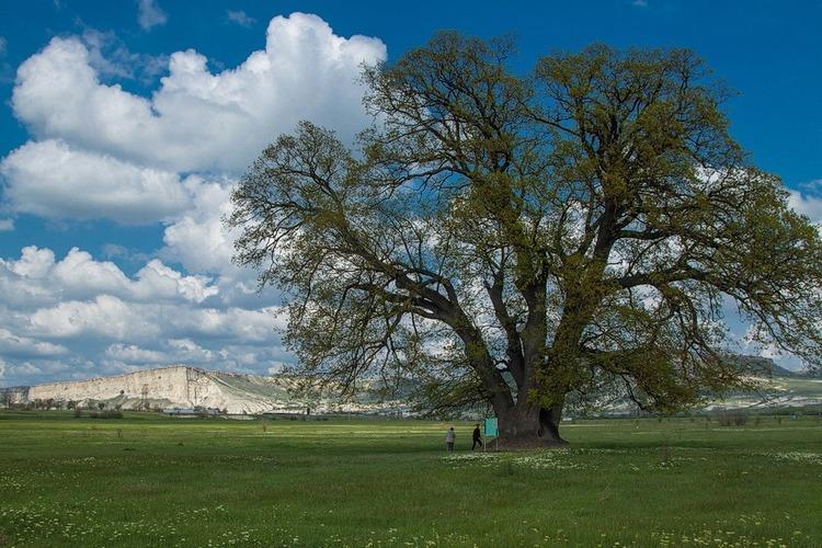 Самый старый дуб в Крыму