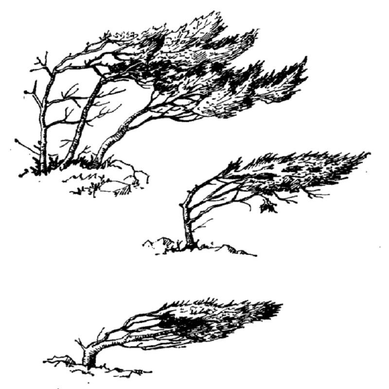 Влияние ветра на крону можжевельника