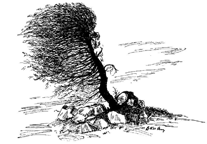 Влияние ветра на крону сосны