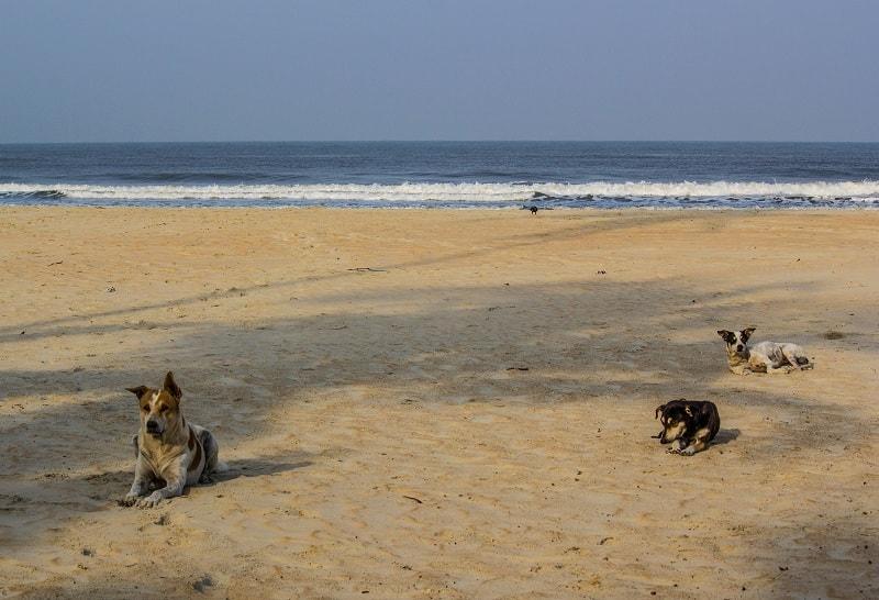Гоанские собаки