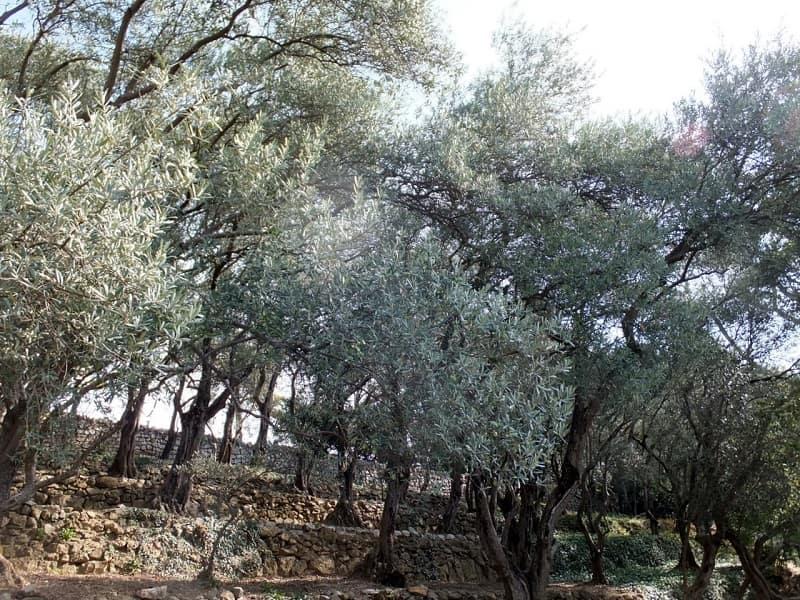 Маслины в Крыму